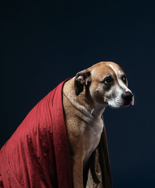 a-bewildered-looking-tan-dog-draped-in-a-red-blanket.jpg