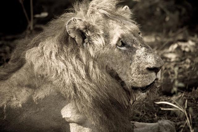 adult-male-lion-in-the-sun.jpg