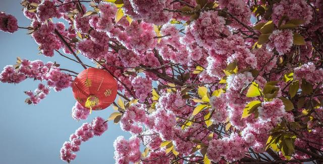 chinese-lantern-hanging-from-blossoming-flowers.jpg