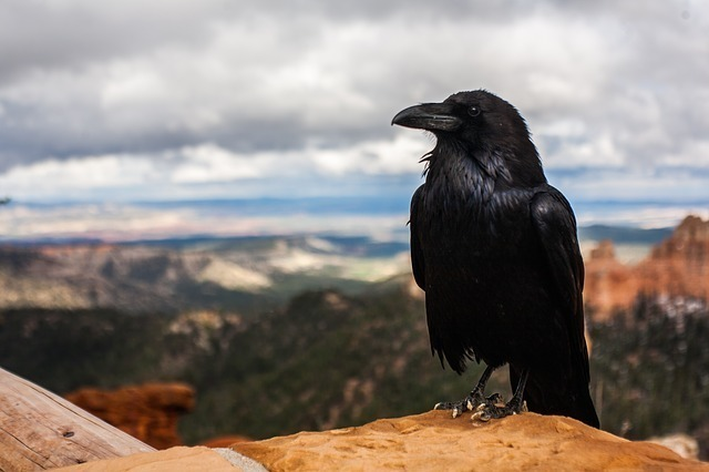 crow-828944_640.jpg