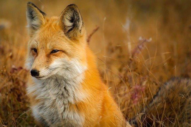 fox-1883658_640.jpg