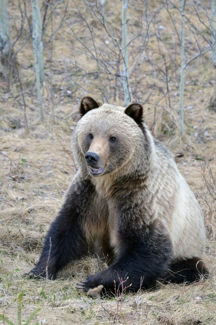 grizzly-bear-in-forrest.jpg