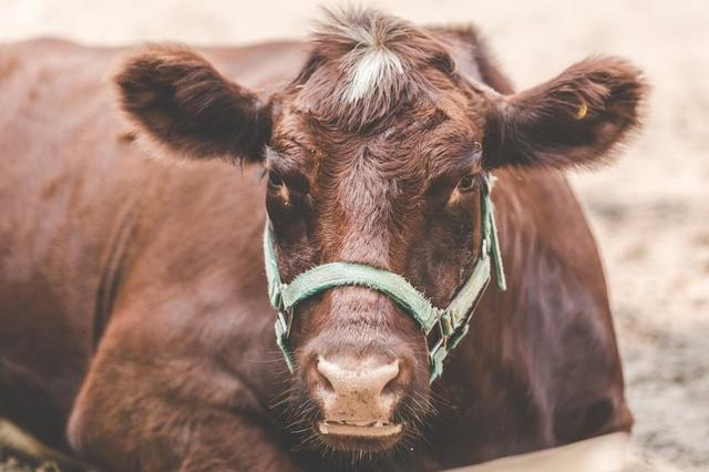 how-now-brown-cow.jpg