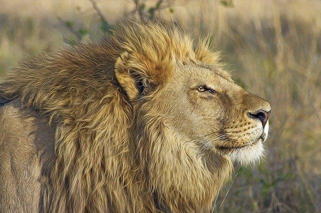 lion-515028_640.jpg