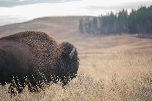 moody-bison-with-peaceful-meadow-background.jpg