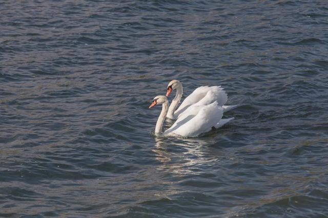 pair-of-swans.jpg