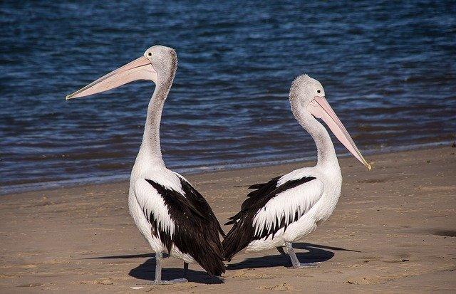 pelicans-446864_640.jpg