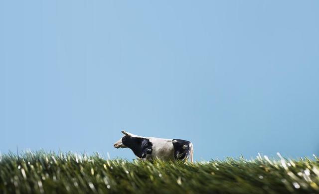plastic-toy-cow-walks-through-play-field.jpg