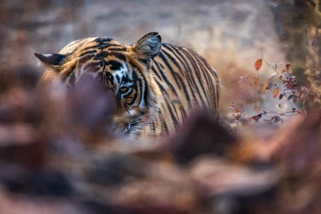 tiger-resting-on-forest-floor.jpg
